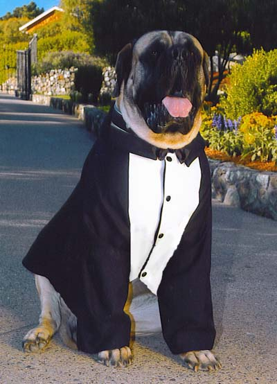 dog tuxedo, large breed dog tuxedo, custom dog tuxedos, english mastiff clothing